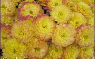 Хризантема мелкоцветковая опыт выращивания