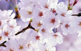 Отсутствие плодов во время цветения у вишни