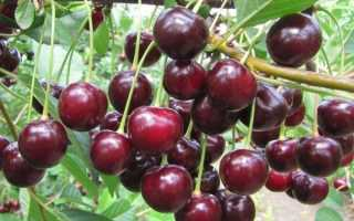 Особенности выращивания мичуринской вишни