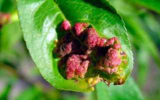 Сорта персика устойчивые к курчавости листьев