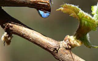 Почему после обрезки виноград заплакал