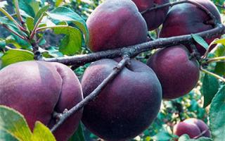 Описание сорта абрикоса черный принц