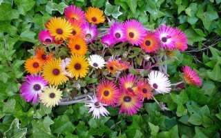 Доротеантус dorotheanthus schwant декоративные садовые и комнатные цветы