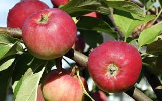 Сортовая характеристика яблони серебряное копытце