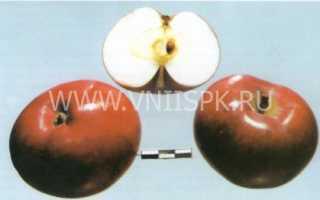 Лобо сорт яблок описание