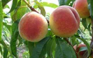 Зачем проводится обрезка персика