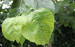 Причины светло зеленых листьев у сливы
