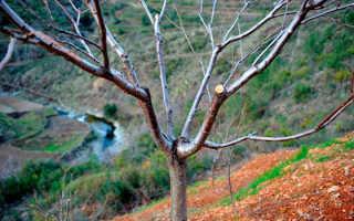 Черешня обрезка взрослого дерева