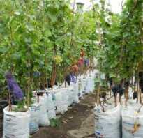 Посадка винограда в контейнеры