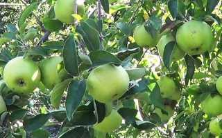Яблоня семеренко посадка и уход