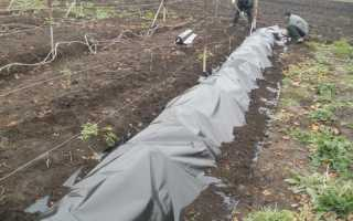Средняя полоса как укрыть виноград