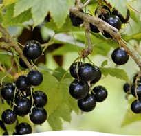 Выращивание черной смородины на дачных участках