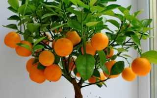 Апельсиновое дерево советы по выращиванию цитрусовых