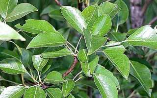 Плодовые деревья груша обыкновенная фото и описание кроны и плода