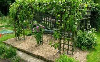 Выращивание винограда софия