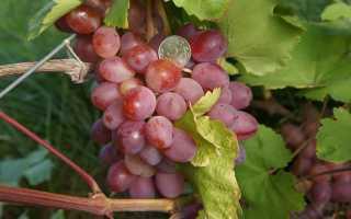 Виноградный сорт азалия описание