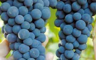 Описание сорта винограда амурский