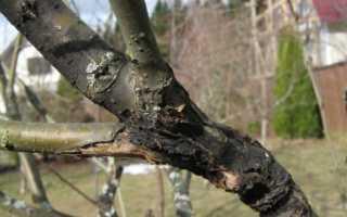 Что делать с подмерзшим деревом груши
