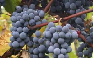 Плюсы и минусы весенней посадки винограда