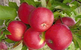 Сорт яблони медуница полное описание фото правила посадки