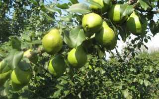 Секреты выращивания груши москвичка