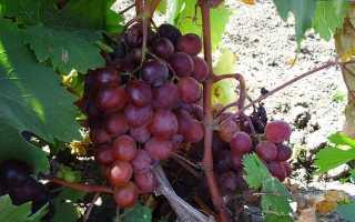 Виноград сенатор павловского описание сорта фото отзывы