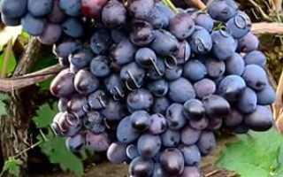 Виноград под названием барон