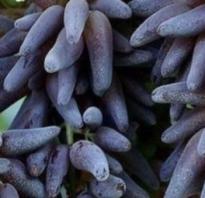 Особенности винограда ведьмины пальцы