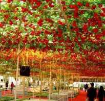 Как вырастить томатное дерево в открытом грунте