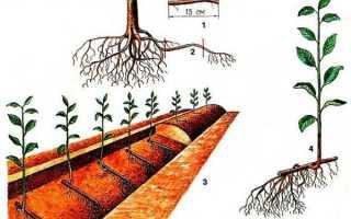 Размножение вишни черенками осенью