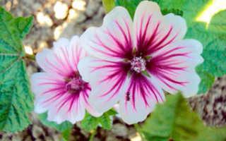 Цветы лаватеры неприхотливые яркие и пышные