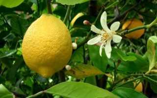 Особенности размножения черенками лимонного дерева в домашних условиях
