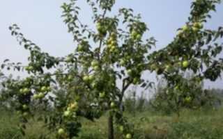 Обрезка плодовых деревьев формирование кроны