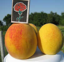 В чем достоинства персика золотой юбилей