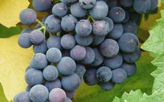 Виноград сорта северный сладкий