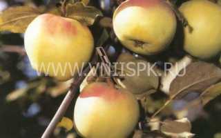 Выращивание яблони орловский синап