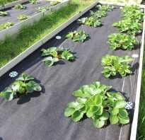 Выращивание клубники в открытом грунте на пленке