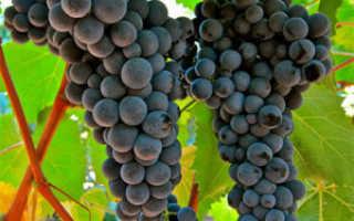 Основные сорта винограда для производства вина