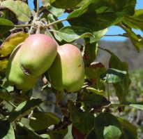 Когда можно пересаживать яблони осенью