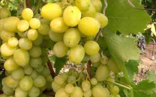 Описание винограда первозванный