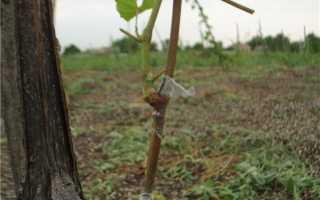 Способы прививки черенков винограда