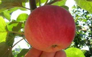 Яблоня осенняя радость описание сорта фото отзывы
