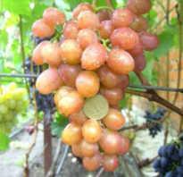 Сорт винограда хамелеон описание фото и видео