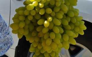 Лучший кишмиш американской селекции виноград столетие