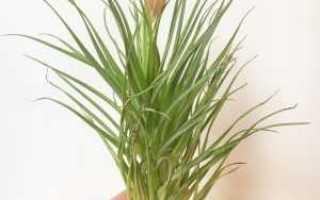 Цветок тилландсия анита как ухаживать