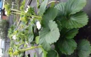 Клубника каролина описание сорта