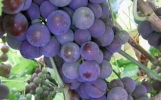 Правила выращивания винограда конкорд