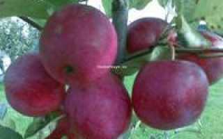 Сорт яблони китайка керр