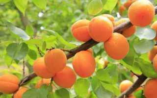 Что делать если абрикосовое дерево не плодоносит