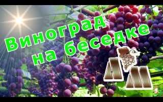 Сорта винограда для беседки неукрывные
